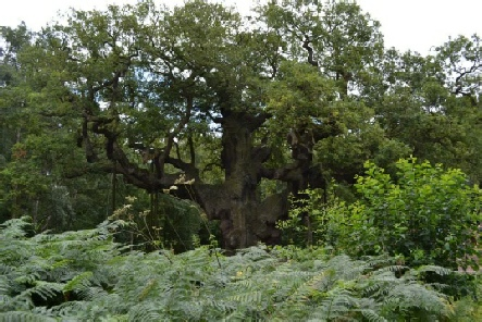 Major Oak, legendary hideaway of Robin Hood in Birklands Wood - Archaeology in Sherwood Forest