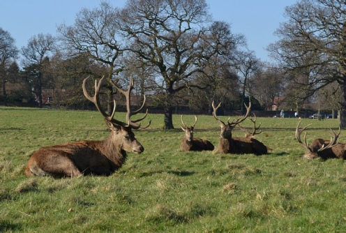 Red Deer Stags in Sherwood Forest Wollaton Park Nottingham